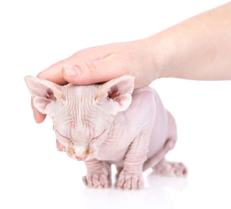 Hand of person strokes head of a sphynx cat. isolated on white background.