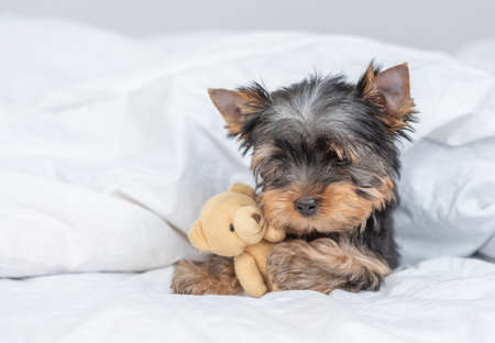 Yorkshire terrier puppy lies under warm blanket on the bed and hugs toy bear. Empty space for text.