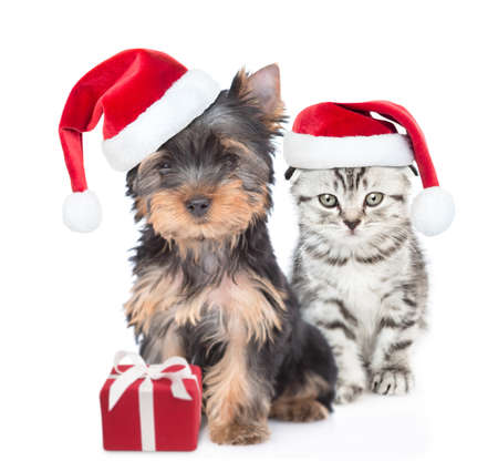 Yorkshire Terrier puppy and gray kitten wearing red christmas hats sit together with gift box. isolated on white background. Archivio Fotografico