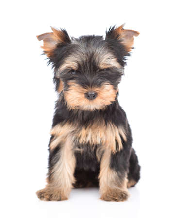 Portrait of a tiny Yorkshire Terrier puppy sitting in front view and looking at camera. Isolated on white background. Stock Photo