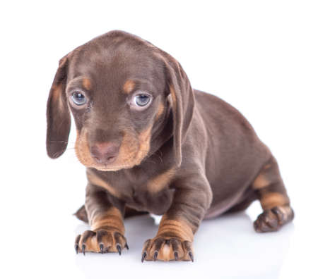 Sad short haired dachshund puppy looks at camera. isolated on white background.