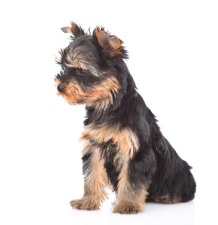Portrait of a Yorkshire Terrier puppy sitting in side view and looking away. Isolated on white background.