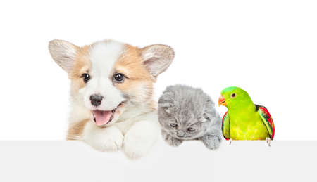 Corgi puppy with kitten and parrot look over empty white banner together. isolated on white background. Empty space for text.