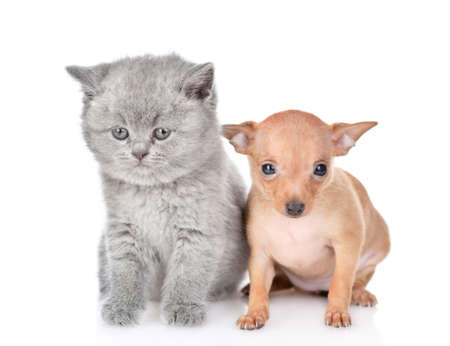 Tiny toy terrier puppy and british kitten sit together in front view. isolated on white background.