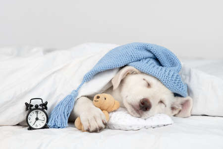 Puppy wearing warm hat hugs favorite toy bear and sleeps under white blanket at home with alarm clock.