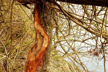 Beaver tracks on the tree