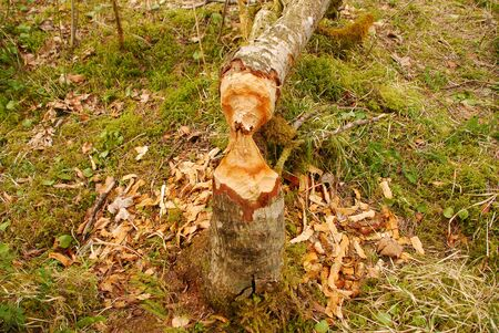 From a beaver felled tree