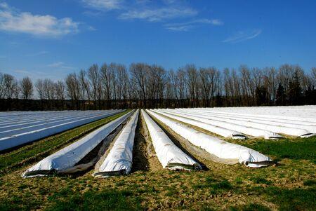 plastik: Asparagus field under white sheet