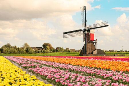 tulipan: Holenderski wiatrak za kwitnące pola tulipanów w kolorach różowy, żółty, pomarańczowy i czerwony