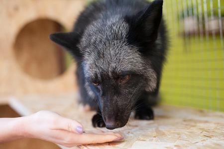 Black fox in contact zoo. Pets in farm