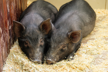Little two black pigs lie near on the farm. Pig love. Piglets grunt in contact zoo. 2019 Chinese New Year.