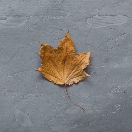 Autumn composition. Dried autumn maple leaf on dark gray concrete background. Minimal concept. Flat lay.
