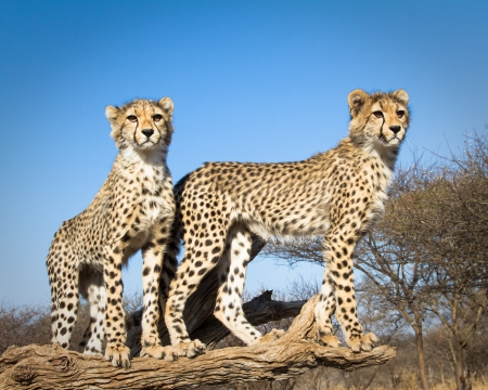 2 young cheetahs pose for a portrait