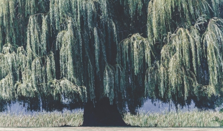 weeping willow: Weeping willow dominates the frame