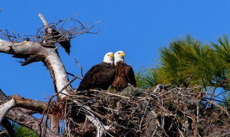 두 이글스 사랑에 자신의 둥지에 앉아 스톡 콘텐츠