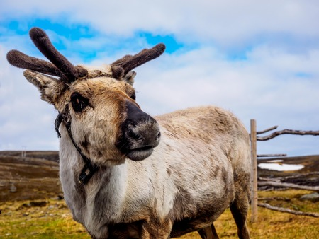 Reindeer in the northern wilds near the North Cape Stock Photo