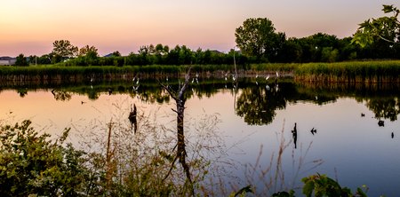 A group of Great Egrets or Great White Herons in water habitats in Illinois