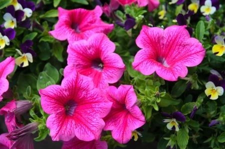 Petunias photo