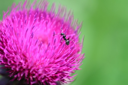 Ant on thistle flowers  Formicidae