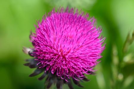 dicot: Thistle flower Stock Photo