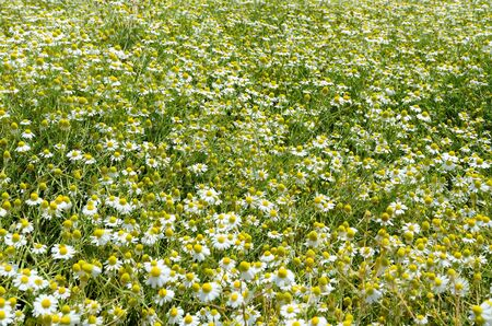 Chamomile Stock Photo - 13999696