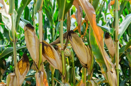 Corn Plants photo