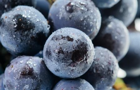 concord grape: Concord grape  Stock Photo