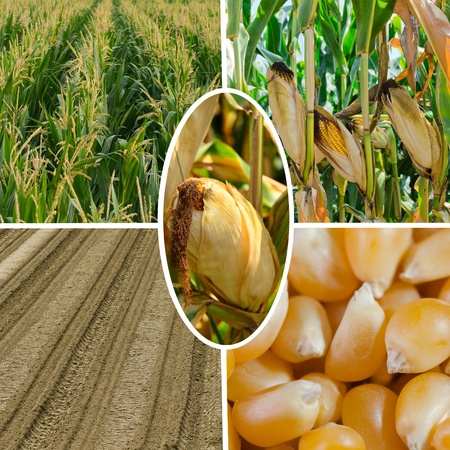 Life cycle of corn Stock Photo - 14953995