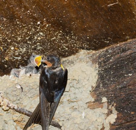 Swallows photo