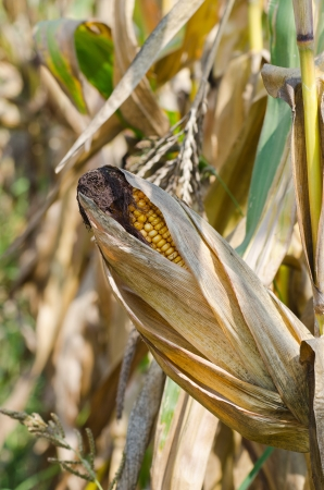 Ear of corn Stock Photo - 15413792