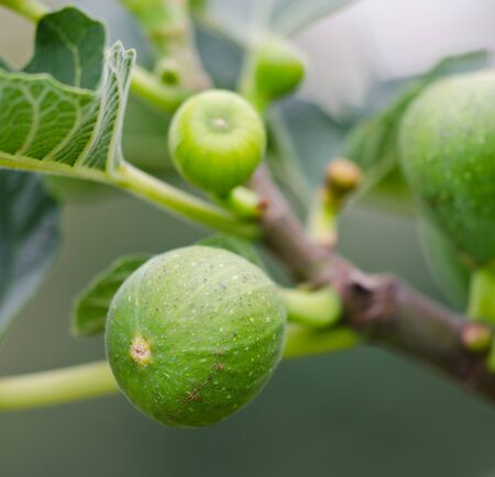 expectorant: Figs on plant Stock Photo