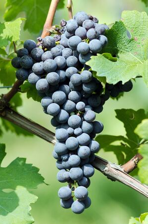 nebbiolo:  Bunch of grapes for Barolo