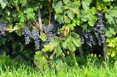 nebbiolo: Barolo vineyards