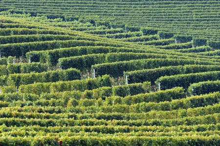 Barolo vineyards  photo