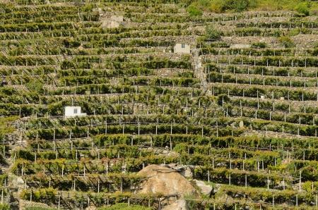aosta: Terraced vineyards in Valle d Aosta