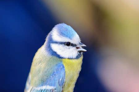 blue tit: M�sange bleue - Cyanistes caeruleus Banque d'images