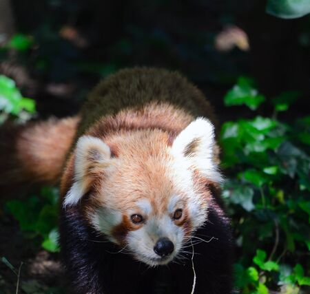 Red Panda y Panda rojo photo