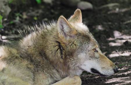 gray wolf: Gray Wolf - Canis lupus Stock Photo