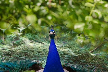 common peafowl: Blue Peacock - Pavo cristatus