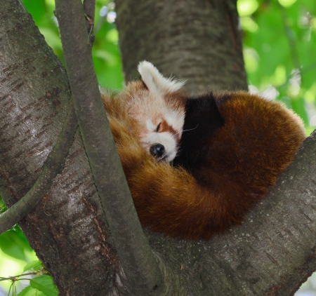 Red Panda or Red panda - Ailurus fulgens photo