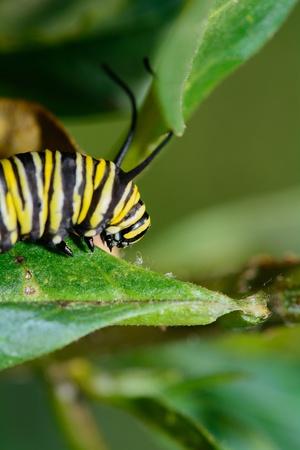 danaus: Mature larva of butterfly Monarch - Danaus plexippus Stock Photo