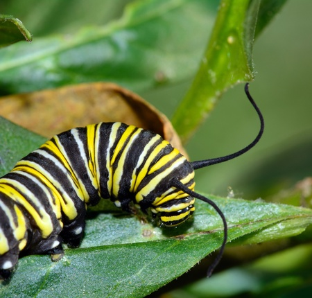plexippus: Mature larva of butterfly Monarch - Danaus plexippus Stock Photo