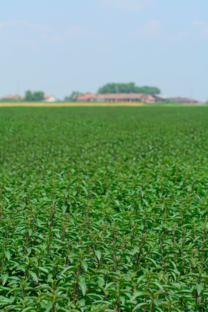 field mint: Cultivation of Mint