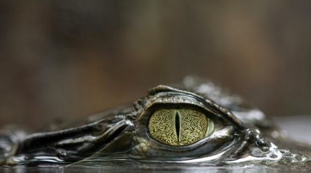 spectacled: Spectacled caiman Stock Photo