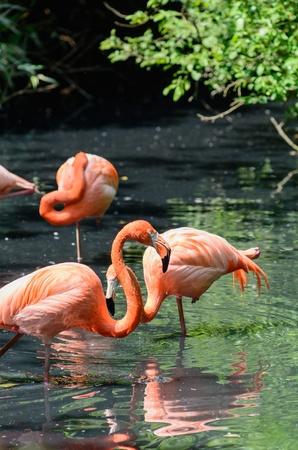phoenicopterus: Red flamingos - Phoenicopterus ruber Stock Photo