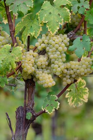 Arneis grape, white grape type