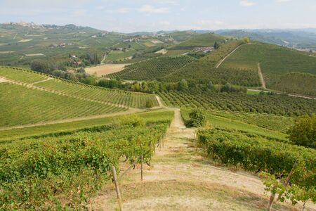nebbiolo: Vineyards in the Barolo - Piedmont