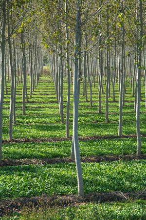 Poplar plantation photo