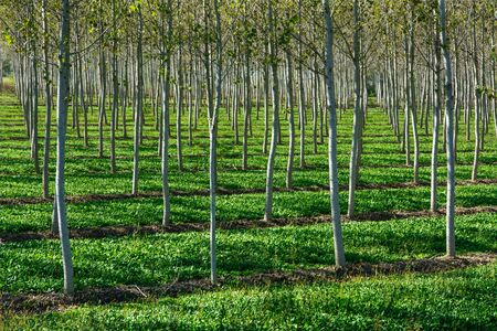 poplar: Poplar plantation