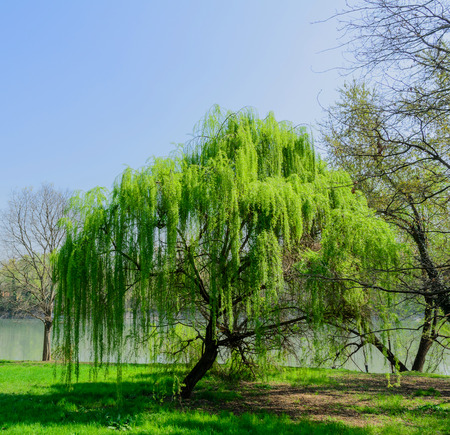 weeping willow: Weeping Willow - Salix babylonica Stock Photo